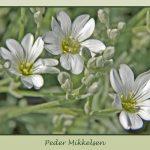 Peder Mikkelsen, Blomster